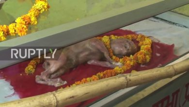 India: Dead calf with 'human-like' features worshipped as Hindu god
