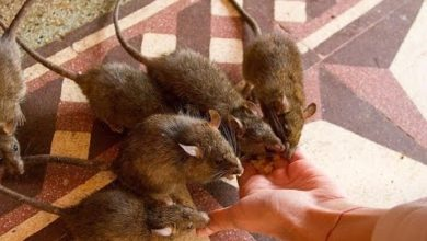 Rat is holy here! The Temple of Rats in India