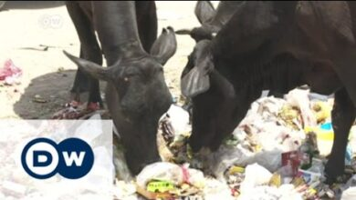 Violence in India as mobs defend cows   DW English